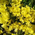 キイロハナカタバミは春の明るい光を受けて輝いて見えました。     ・酢漿草の春の光に輝ける(和良)