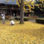 五百羅漢堂の前庭には銀杏落葉が積み重なっていました。  ・日を返す銀杏落葉の明るさよ(和良)