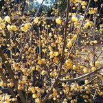 板野町の五番札所の五百羅漢がある奥院の庭に臘梅が咲いていました。  ・奥院に臘梅の花明かりかな(和良)