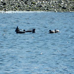 阿南市の那賀川ではあそこにもここにも鴨がいました。                 ・この広い川面に一羽ゐる鴨よ(和良)