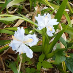 とくしま植物園の丘には著莪の花も咲き始めていました。        ・その奥の木陰に凛と著莪の花(和良)