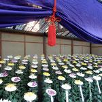 新宿御苑の一文字菊・管物花壇には咲き揃った菊が綺麗に並んでいました。・一文字菊は大輪一重咲き(和良)