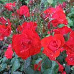 藍住町の薔薇園で見た赤い薔薇です。雨滴まで赤く染まっていました。  ・巡り来てやはりこの薔薇赤い薔薇(和良)