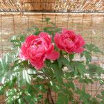 神宮寺では葦簀張りの小屋にも牡丹の鉢が並んでいました。 ・葦簀張る小屋の牡丹も咲き初めて(和良)