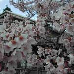 徳島市の原田家住宅で蜂須賀桜を見ました。満開でした。 ・蜂須賀の花のほどよき朱色かな (和良)
