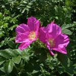 皇居東御苑ではいろいろな種類の浜茄子の花が咲き競っていました。  ・風止めど浜茄子の花揺れてをり(和良)