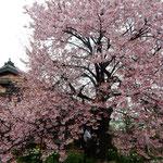原田家住宅の蜂須賀桜は樹齢250年、見事な咲きっぷりでした。     ・蜂須賀桜咲けば市長も知事も来て(和良)