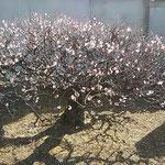 五番札所の奥院への参道の両側に紅白の梅が咲き競っていました。    ・奥院へ梅の参道続く寺(和良)