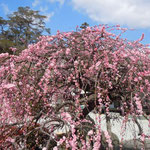徳島市国府町延命にある常楽寺では境内のしだれ梅が満開になっていました。  ・梅の香の寄せ来る間合ありにけり(和良)