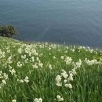 水仙は鳶の背が見えるほど高い崖から海まで雪崩れ咲いていました。  ・大斜面海へ雪崩るる野水仙(和良)