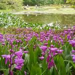東御苑の二の丸庭園では池の畔に紫蘭が咲き満ちていました。      ・池の端を埋め尽くして紫蘭咲く(和良)
