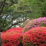 大正ロマン溢れる松山市の萬翠荘です。庭の躑躅も綺麗でした。              ・咲き溢れ萬翠荘の躑躅かな(和良)