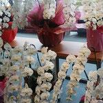 新築された銀行のロビーには胡蝶蘭が幾重にも飾られていました。 ・幾重にも飾られ室の胡蝶蘭(和良)