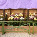 菊の展示場には紫の幕が張られていました。               ・紫の幕のきりりと菊花展(和良)