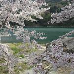 徳島県東みよし町の美濃田の渕では桜が岸辺を覆い尽くしていました。  ・渕の藍覆い尽くせる桜かな(和良)