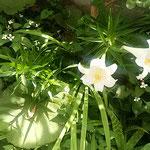 藍住町の我が家の庭に白百合が咲き揃いました。            ・こふのとり巣立ち白百合咲き揃ふ(和良)