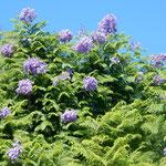 リスボンで見たジャカランタの帰り花は遠くからも見えました。  ・ジャカランタ帰り咲をり遠目にも(和良)
