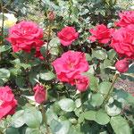 徳島城公園の薔薇園では勢いのある蕾もたくさんありました。         ・背比べしてゐる薔薇の蕾かな(和良)