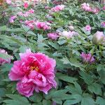鳴門市の観音寺では牡丹が咲き始めていました。                                    ・花開く朝の牡丹を見に来よと(和良)