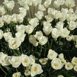 65品種38000本の中には白いチューリップもありました。                               ・ハネムーンてふ真っ白なチューリップ(和良)