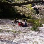 新宿御苑には染井吉野の花びらが散り敷いていました。           ・散り敷ける染井吉野の白さかな(和良)
