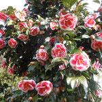阿南市椿町の椿自然園では七百種類の椿が咲いていました。                ・潮風に傷みし椿ばかりかな(和良)