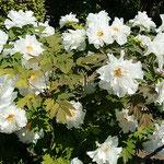阿波市の神宮寺で牡丹を見ました。白牡丹に見惚れました。       ・巡り終へもう一度見る白牡丹(和良)