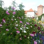 ヴァヴェル城の庭園にはコスモスも咲いていました。          ・真青なる空にコスモスよく映えて(和良)
