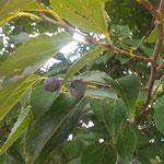 石井町浦庄の畑の中に大きな椋の木があり実をつけていました。 ・椋の実の七百年の大木に(和良)