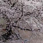 石井町中央公民館の隣の公園では桜が散り始めていました。       ・花屑となりゆく桜さくらかな(和良)