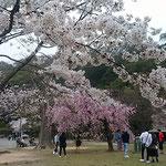 城山のある徳島市中央公園の桜です。今年は開花が遅かったです。     ・やうやくに咲きし桜を仰ぎ見る(和良)