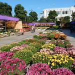 吉野川市市役所前の菊花展は好天に恵まれどの菊も綺麗でした。     ・雲一つなき青空の菊花展(和良)