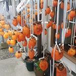 吊るした柿に詰めたくて乾いた風が当たるのを待っています。      ・柿吊るしあとは風待つばかりかな(和良)