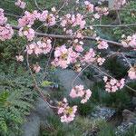 東京の高輪プリンスホテルの庭園では河津桜が咲き競っていました。            ・まづ咲きて河津桜でありにけり(和良)