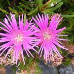 伊島にはいろいろなサボテンが花をつけていました。            ・サボテンの花咲く島の炎暑かな(和良)