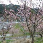 佐那河内村の新府能トンネル前の斜面で見た蜂須賀桜です。 ・ふるさとに蜂須賀桜咲く山を(和良)