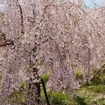 とくしま植物園には垂れ桜もあり、遠くからもよくわかりました。    ・遠目にもしだれて垂れ桜かな(和良)