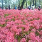 埼玉県日高市の巾着田曼珠沙華公園には500万本の曼珠沙華があります。 ・曼珠沙華浄土となりし巾着田(和良)