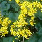 新宿御苑の石蕗の花は日向より日蔭の方が輝いて見えました。      ・日向より日蔭の黄色石蕗の花(和良)