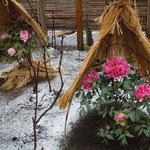上野東照宮の冬牡丹は雪を浴びていよいよ色鮮やかでした。                 ・雪の日の牡丹の色でありにけり(和良)