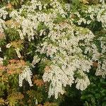 徳島市の渭水苑の日本庭園で見た馬酔木の花です。           ・石庭に白き一叢馬酔木咲く(和良)