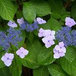 入梅の日、徳島市の大塚製薬能力開発研究所で見た額の花です。  ・雨粒を瑠璃にしてゐる額の花 (和良)