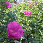薔薇園には同じバラ科の浜茄子が咲き競っていました。                                 ・薔薇園にバラ科浜茄子咲き競ふ(和良)