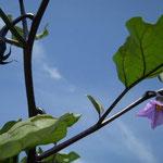 石井町の県立農業大学校では秋茄子がたくさんの花と実をつけていました。  ・秋茄子の花高々と咲きにけり (和良)