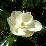 徳島市の文化の森の裏山で見た泰山木の花です。よい香りがしました。  ・美しき泰山木の花は香も(和良)