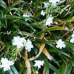 著莪の花は木漏れ日に輝いて見えました。               ・木洩れ日を返して白し著莪の花(和良)