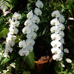 奇跡の星の植物館では熱帯植物の中に胡蝶蘭の白が目立ちました。    ・ジャングルに白のまぶしき胡蝶蘭(和良)
