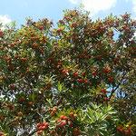 愛知県長久手市のトヨタ博物館には大きな楊梅が実をつけていました。  ・楊梅の鈴生りなりし博物館(和良)