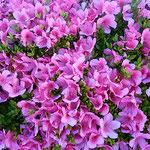 刈り込まれた杜鵑花の垣根には犇めくように花が咲いていました。     ・刈り込まれ犇めき咲ける杜鵑花かな(和良)