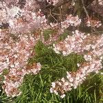 樹齢250年の蜂須賀桜の母樹は下の枝まで目一杯花をつけていました。  ・蜂須賀の世より伝はる桜咲く(和良)